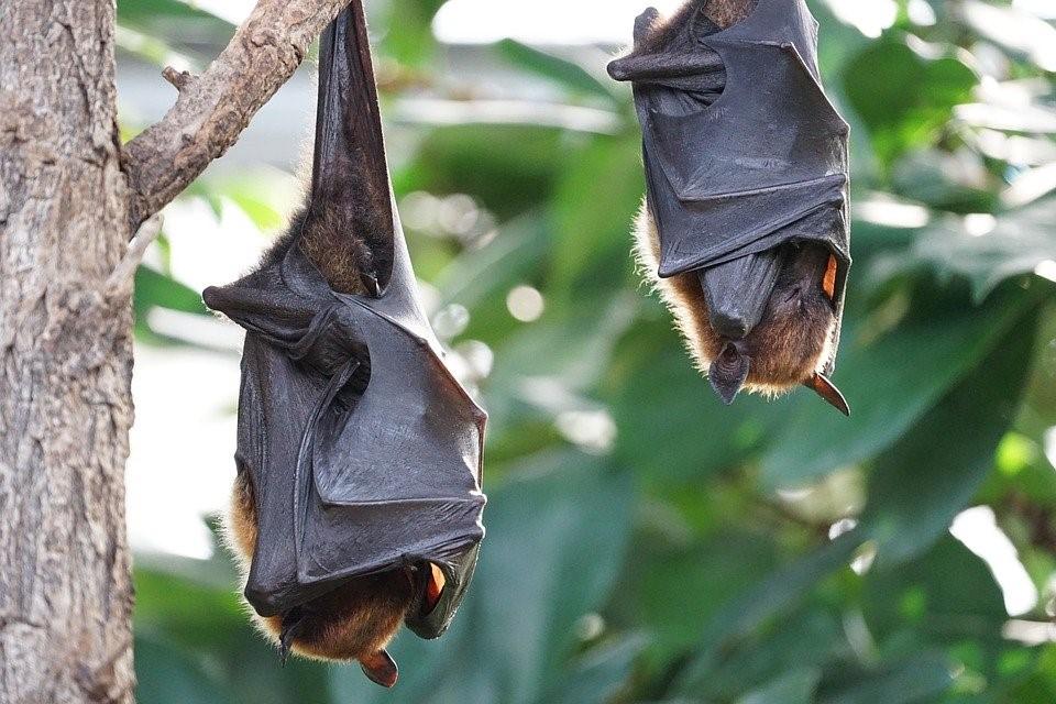 Renards Volants, Bat, Tropical Chauve-Souris